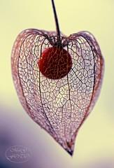 Beauty of Autumn (MaiGoede) Tags: autumn macro nature flora nikon natureza herbst natur autumncolors makro d800 japaneselantern herbststimmung physalisalkekengi solanales fedderwardersiel nachtschattengewächse nachtschattenartige nikond800 wildeblasenkirsche impressionenvomherbst