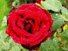 F00103 Mainz Stadtpark Rosengarten (haraldportele) Tags: rot rose mainz regen stadtpark phantasie feucht