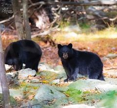 Bear Cubs Fall 2014 (*~ Nature's Gifts Captured  ~*) Tags: bear autumn black fall nature photoshop photography newjersey nikon wildlife cubs 2014 specanimal d4s tamihrycak natuersgiftscaptured