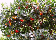 Albatro o corbezzolo , fiori e frutti insieme (scatti_sc Silvia) Tags: ericaceae toscana autunno miele maremma frutti follonica marmellata corbezzolo albatro