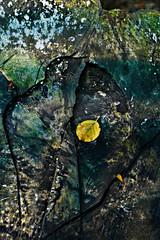 Fallen on the fallen (pentlandpirate) Tags: tree bird leaf rings fungus trunk slime droppings