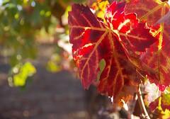 vineyard-2 (jianguo.fan) Tags: northerncalifornia vineyard fallcolor napa sonomavalley pentaxk5 pentaxda18135wr