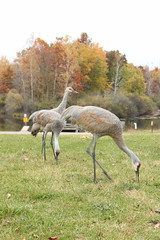 IMG_6562 Sandhill Cranes (tomv2000) Tags: kensington sandhillcranes metropark kensingtonmetropark
