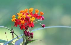 IMG_9946: Asclepias curassavica - scarlet milkweed (Naila Rahman) Tags: