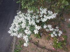DSCN9744 (en-ri) Tags: verde nikon arrow bianco fiorellini