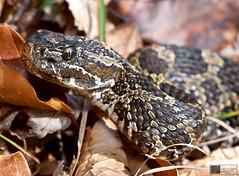 Eastern Massasauga Rattlesnake (Nick Scobel) Tags: michigan pit endangered viper eastern rattlesnake venomous rattler sistrurus massasauga catenatus