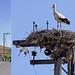 Macedonia, S Panteleimon village, stork nesting on a power pole, Greece #Μacedonia