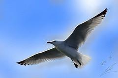 Seagull النورس (محمد بوحمد بومهدي) Tags: sky animals zoo flying nikon seagull حيوانات d600 حيوان نورس حديقة نيكون طائر بوحمد buhamad النورس أمحمد