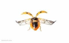 Ladybug about to take off (DaveHuth) Tags: ny field forest insect beetle meadow trails ladybug houghton oldorchard arthropod ladybirdbeetle coccinellidae harmoniaaxyridis multicoloredasianladybeetle 19spotted facshow2016maybe