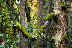 ferns on a branch (kevin.boyd) Tags: park canada fern forest moss bc britishcolumbia victoria goldstream vancouverisland