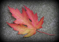 """The Maple Leaf"" (ellenc995) Tags: leaf autumn fall colored thanksgiving october rubyphotographer coth thesunshinegroup supershot sunrays5 challengeclub concordians ruby5 citrit challengeclubchampion alittlebeauty coth5 abigfave ruby10 naturesfinest ruby15 anawesomeshot bej 100commentgroup naturallywonderful akob thegalaxy"