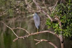 _C5A3853.jpg (Lake Worth) Tags: bird nature birds animal animals canon wings wildlife feathers sigma waterbird wetlands everglades waterbirds southflorida 2xextender