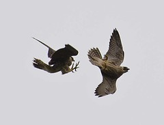 Play Fighting (toasterjones) Tags: birds bristol wildlife raptor falcon gorge avon peregrine tiercel