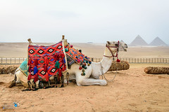 Camel - Egypt - Giza (Elmokadim) Tags: egypt camel giza