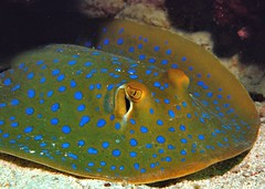 Blue spotted Ray (gillybooze (David)) Tags: ray malaysia mabul ©allrightsreserved madaleundewaterimages