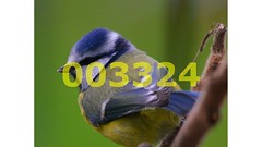 Flickr_003324 (lima_ho_htc) Tags: blue birds tit gardenbirds franbanks rememberthatmomentlevel4 rememberthatmomentlevel1 rememberthatmomentlevel2 rememberthatmomentlevel3 rememberthatmomentlevel9 rememberthatmomentlevel5 rememberthatmomentlevel6 rememberthatmomentlevel10