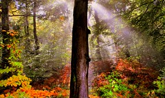 Forest of Dean (Mrs P's Photo Show Thanks for visiting & Comments) Tags: autumn sun forest dean beams