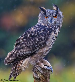 Eurasian Eagle Owl (captive)