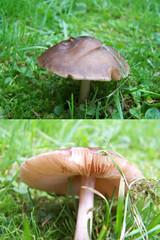 Fawn Pluteus Pluteus cervinus (ERIK THE CAT Struggling to keep up) Tags: fungi staffordshire castlechurch