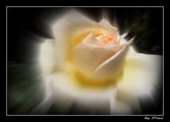 51-amour de rose !... (gio.dino3) Tags:
