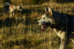 Apache (camel.arnaud) Tags: dog chien nature animal montagne automne husky minolta sony beercan siberian alpha 70 f4 slt 70210 210 a65 sibrien