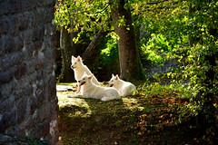 The three whites (Navacho) Tags: dog white castle germany deutschland wolf hund badenbaden burg weis yburg alemagne