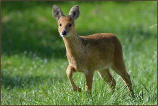 Chinese Water Deer (image 1 of 3)