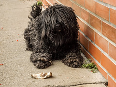 Are you watching me? (Ákos Fekete) Tags: autumn dog fall nature hungary finepix fujifilm puli villány tücsök