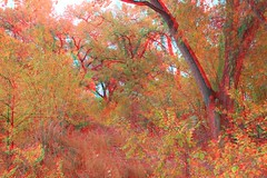 Bosque in 3d (CaptDanger) Tags: blue red newmexico america canon photography 3d albuquerque anaglyph bosque redblue 3dglasses americansouthwest 3dimensional 3deffect 3dimages fallpictures 3dimage 3dtrees seasonfall 3dpicture anaglyph3d anaglyphglasses 3dglassesrequired treesinthefall albuquerquebosque southweasternus 3dpicturesnewmexico 3dfallpictures fallin3d redblueglassesneeded bosquein3d