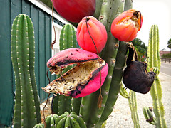 The Very Hungry Cactus (Bennilover, off for a week, Wild Things coming!) Tags: red wild cactus cacti scary open seeds hungry pods sanjuancapistrano bursting audrey2 litteshopofhorrors
