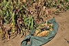 Corn Harvested onto Knotted Tarp (caroldeppe) Tags: usa plant vegetables oregon garden photography corn gardening farming harvest vegetable breeding organic agriculture maize sustainable harvesting 2014 cornears flourcorn magicmanna caroldeppecom caroldeppe fertilevalleyseeds