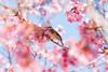 櫻花間的鳥 (Hamster620) Tags: 台灣 taiwan 武陵農場 wulingfarm 花 flower 動物 animal 鳥 bird