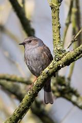Dunnock (bloedmann999) Tags: dunnock heckenbraunelle bird