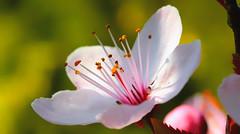 Sier-kers (peterkleeren) Tags: macro flower power nikon d600 photography closeup detail nature spring sunlight