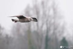 gull fly over (technodean2000) Tags: seagull bird fly over head nikon d610 lightroom uk sigma 150600mm