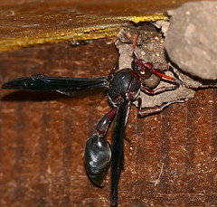 Potter Wasp (Delta emarginatum) building a cell ... (berniedup) Tags: lakepanic skukuza kruger potterwasp deltaemarginatum wasp taxonomy:binomial=deltaemarginatum