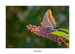 Charaxes Jasuis... (Canconio59) Tags: charaxes mariposa volboreta galicia españa spain bokeh colores colors jasuis