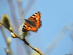 Small tortoiseshell (Corine Bliek) Tags: vlinders butterflies nature wildlife summer papillon mariposa natuur insect animal outdoor butterfly