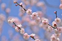 pink clouds (snowshoe hare*) Tags: dsc0763 japaneseapricot plumblossoms ume pink dazaifutenmangushrine 太宰府天満宮 梅