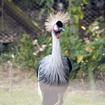 East African Crowned Crane - also know as Grey Crowned Crane Standing Tall thumbnail