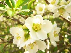 Chaenomeles ´Nivalis´ (Jörg Paul Kaspari) Tags: chaenomeles´nivalis´ chaenomeles ´nivalis´ trier weberbach blüte zierquitte weis white flower