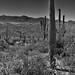 Views Taken While Walking in Saguaro National Park (Black & White)