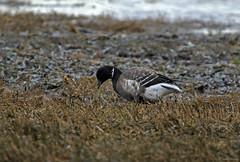 Brant - 094A8921a1c (Sue Coastal Observer) Tags: brant bran brantabernicla goose blackiespit surrey bc britishcolumbia canada