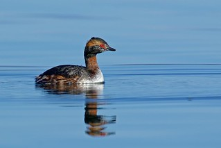 Horned Grebe plumage transition (r)