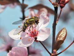Endlich gibt es genug Nahrung... (Wallus2010) Tags: frühling kirschblüte wildkirsche grosmoor germany nikon makro macro nahaufnahme p900 bridgekamera insekt biene honig pollen