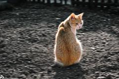 Cat @catsedition9 (Robert Krstevski) Tags: robertkrstevskiblogspotcom robertkrstevski cat cats kitty kitten kittens kitties animal animals animallovers animalslove gato gatos кошки кошка котка popular мачка nikond3300