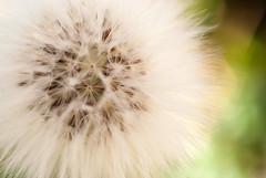 Casi algodón (tangaxoan) Tags: algodón dientedeleón planta vegetal biología semillas viento
