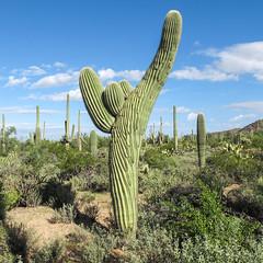 One of the numerous pleasing saguaros for which Saguaro National Park was named. (Tim Kiser) Tags: 2015 20151006 arizona arizonalandscape carnegiea carnegieagigantea desertdiscoverytrail img6524 october october2015 pimacounty pimacountyarizona saguaronationalpark saguaronationalparkwest saguaronationalparklandscape saguaroparkwest tucsonmountaindistrict tucsonmountaindistrictlandscape tucsonmountaindistrictofsaguaronationalpark tucsonmetropolitanarea cacti cactus cactuslandscape desert desertlandscape desertplants landscape mostlysunny nationalpark nationalparklandscape park saguaro saguarolandscape saguaros southarizona southeastarizona southeasternarizona southernarizona view tucson unitedstates us