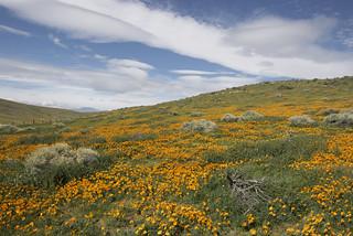 The Poppy Fields