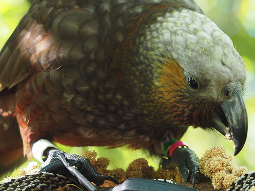 Kaka eating kakariki food.